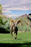 Desert Bighorn Ram Head On Stock Photos