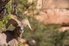 Desert Bighorn Ram Stock Photography
