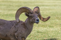 Desert Bighorn Ram Royalty Free Stock Photo