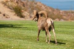 Desert Bighorn Ram Stock Images