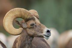Desert Bighorn Ram Portrait Royalty Free Stock Images