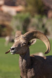 Desert Bighorn Ram Portrait Stock Photos