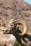 Desert Bighorn Ram Portrait Stock Images