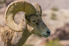 Desert Bighorn Ram Portrait Royalty Free Stock Photo