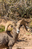 Desert Bighorn Ram Portrait Stock Photo