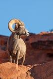Desert Bighorn Ram Posing Royalty Free Stock Photos