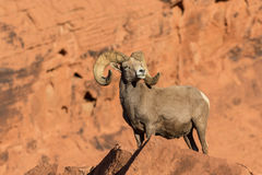 Desert Bighorn Ram Posing in Rocks. A desert bighorn sheep ram in red rocks in valley of fire state park nevada Royalty Free Stock Photography