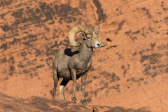 Desert Bighorn Ram in red Rocks. A nice desert bighorn sheep ram in Nevada Royalty Free Stock Image