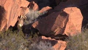 Desert Bighorn Ram on Red Rocks stock video footage