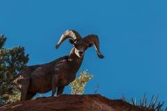 Desert Bighorn Ram on Ridge Stock Photo