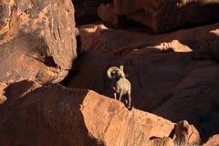 Desert Bighorn Ram in Rocks Stock Photo