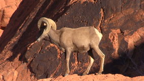 Desert Bighorn Ram on Rocks stock video