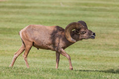 Desert Bighorn Ram in Rut Stock Photo