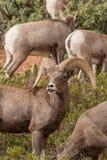 Desert Bighorn Ram Rutting Royalty Free Stock Image