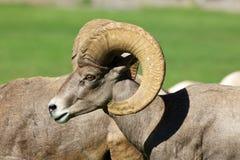 Desert Bighorn  Ram Stock Image