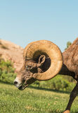 Desert Bighorn Ram Royalty Free Stock Photos