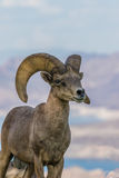 Desert Bighorn Ram Royalty Free Stock Photography