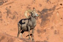 Desert Bighorn Ram Royalty Free Stock Image