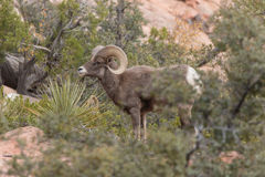 Desert Bighorn Ram Royalty Free Stock Photography
