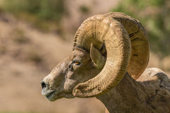 Desert Bighorn Ram Side Portrait Royalty Free Stock Photography