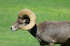 Desert Bighorn Ram Side view Stock Photography