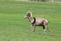 Desert Bighorn Ram Walking Stock Images
