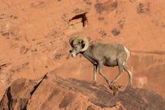 Desert Bighorn Ram Walking Royalty Free Stock Images