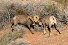 Desert Bighorn Rams Fighting. A pair of desert bighorn sheep rams fighting in valley of fire state park nevada Stock Images