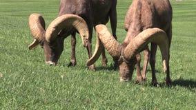 Desert Bighorn Rams Grazing Stock Image