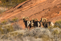 Desert Bighorn Rams. A group of desert bighorn sheep rams in red rocks Stock Photo