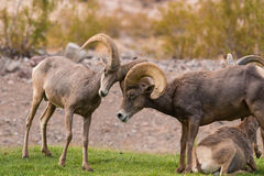 Desert Bighorn Rams Stock Photo