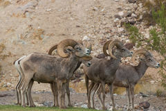 Desert Bighorn Rams. A group of desert bighorn sheep rams in the rut Royalty Free Stock Photo