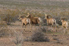 Desert Bighorn Rams. A herd of desert bighorn sheep rams in Nevada Stock Photo