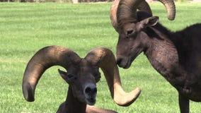 Desert Bighorn Rams Interacting Royalty Free Stock Photo