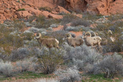 Desert Bighorn Rams in Nevada. A group of desert bighorn sheep rams in Nevada Stock Images