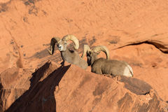 Desert Bighorn Rams. A nice pair of desert bighorn sheep rams in Nevada Royalty Free Stock Photography