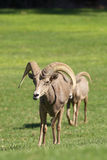 Desert Bighorn  Rams. A pair of desert bighorn sheep rams in a meadow Royalty Free Stock Photos