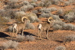 Desert Bighorn Rams. A pair of desert bighorn sheep ram in valley of fire state park nevada Stock Photo