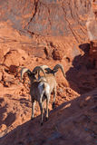 Desert Bighorn Rams Royalty Free Stock Photography