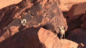 Desert Bighorn Rams stock video