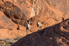 Desert Bighorn Rams. A pair of desert bighorn sheep rams in red rocks in nevada Stock Image