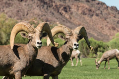 Desert Bighorn Rams. A pair of desert bighorn sheep rams standing Royalty Free Stock Photography