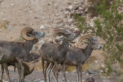 Desert Bighorn Rams in Rut. A group of desert bighorn sheep rams in the rut Stock Photography