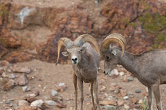 Desert Bighorn Rams in rut. A pair of desert bighorn sheep rams in the rut Stock Image