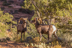 Desert Bighorn Rams Rutting. A pair of desert bighorn sheep rams in Zion National Park Utah during the fall rut Royalty Free Stock Image