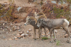 Desert Bighorn Rams Rutting. Desert bighorn sheep rams in the rut Stock Image