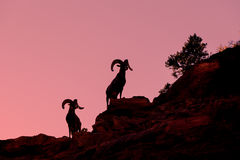 Desert Bighorn Rams Silhouette Royalty Free Stock Photography