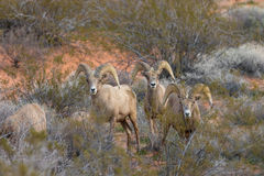 Desert Bighorn Rams. A small band of desert bighorn sheep rams in Nevada Royalty Free Stock Image