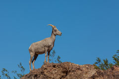 Desert Bighorn on Rocks Stock Photos