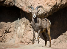 Desert Bighorn Sheep. Desert Bighorn (Ovis canadensis mexicana) is a subspecies of Bighorn living in the mountainous deserts of the southwest Untied States and Royalty Free Stock Photography